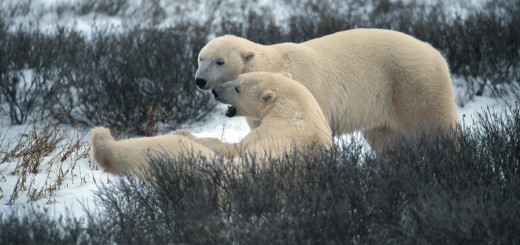 Polar bears love the cold!