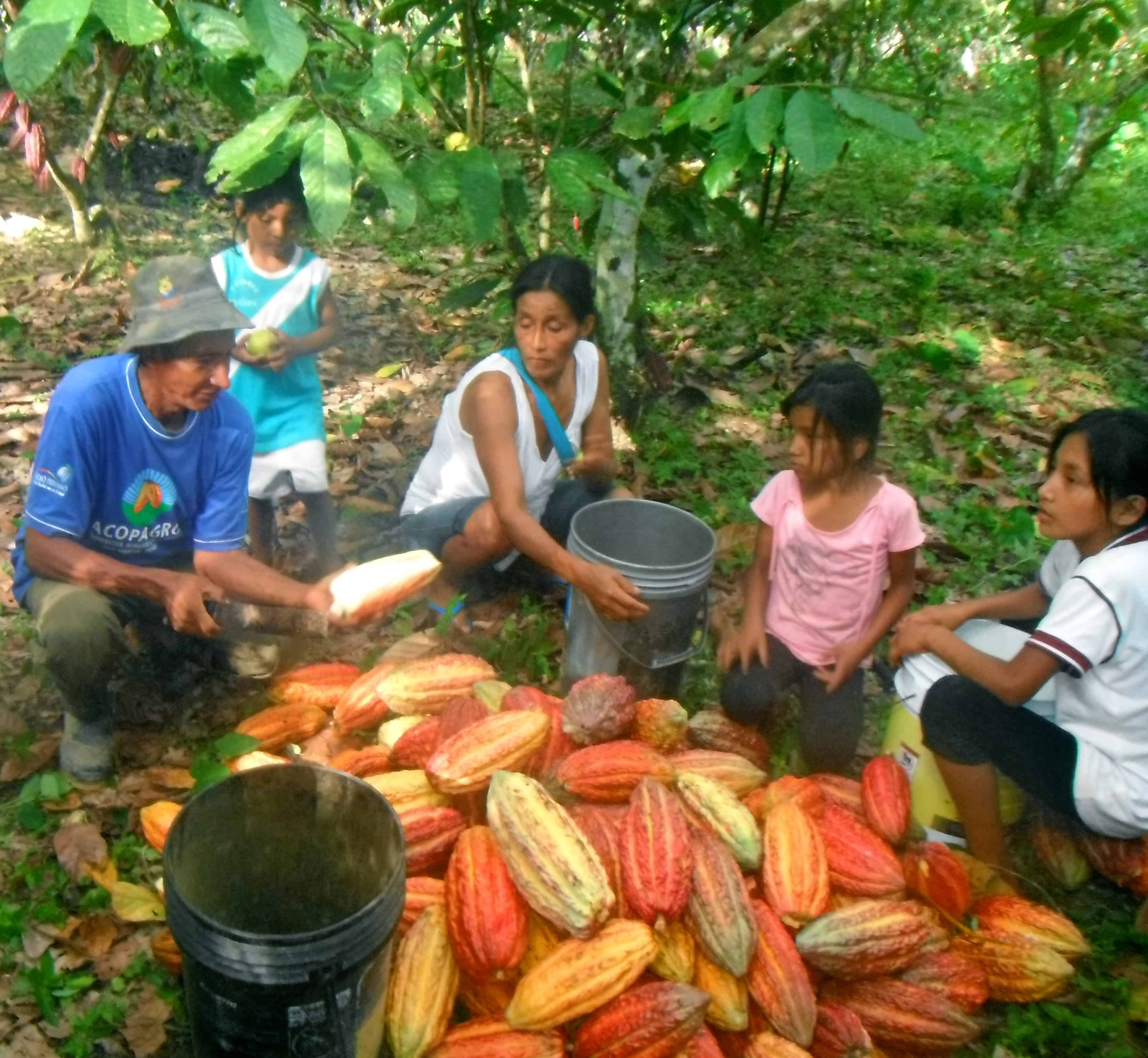 Growing Cacao In Peru
