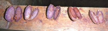 fermenting-cocoa-beans