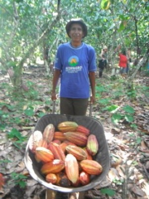 harvesting-cacao