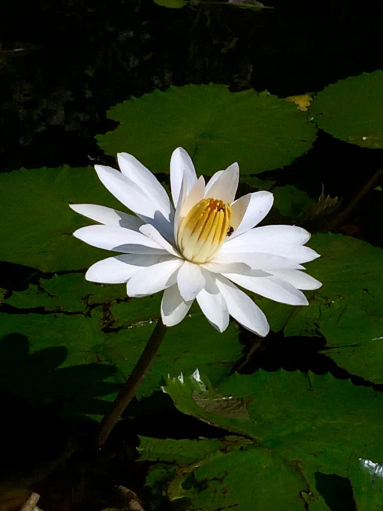 water lily at vallarta botanical gardens