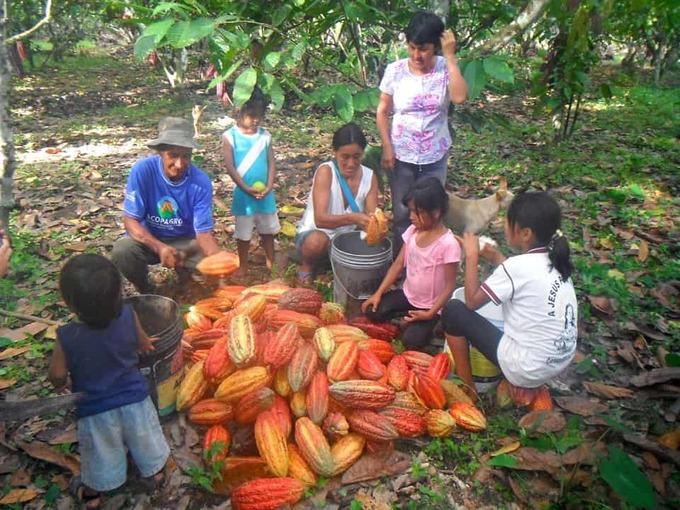 cocoa-harvest-peru