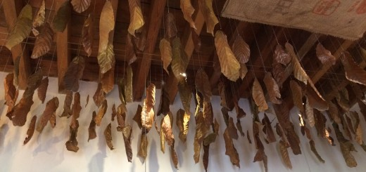 dried-cacao-leaves