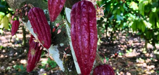 growing-cocoa-dominican-republic