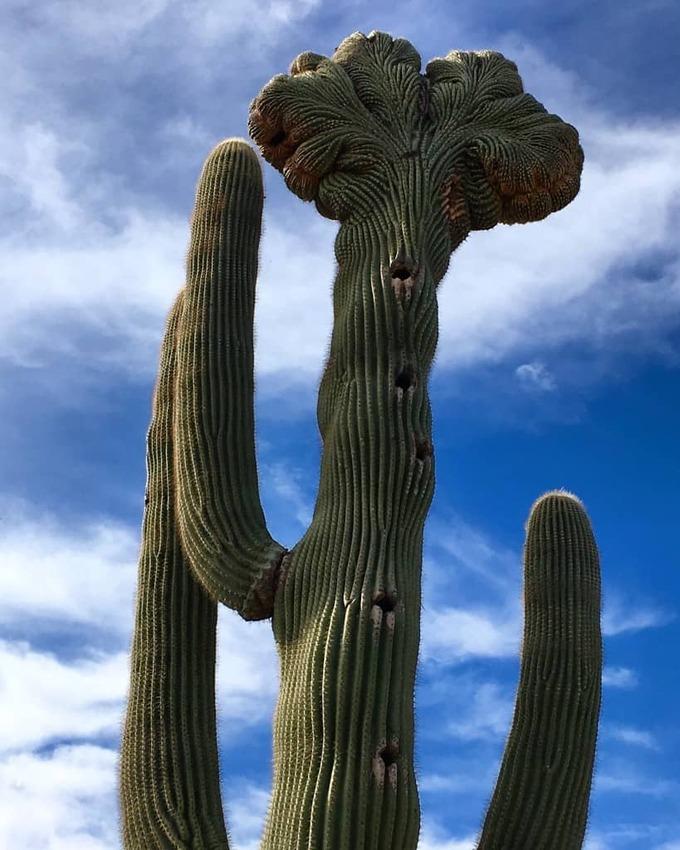 sonoran-desert-cacti