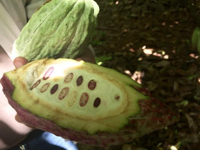 belcolade-cocoa-plantation
