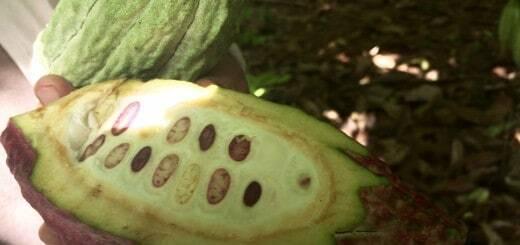 growing-cocoa-belcolade